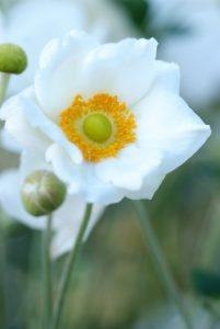 Laatbloeiende vaste planten: Gentiana, Anemone en Salvia