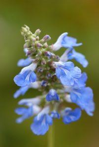 Late-flowering perennials: Gentiana, Anemone and Salvia
