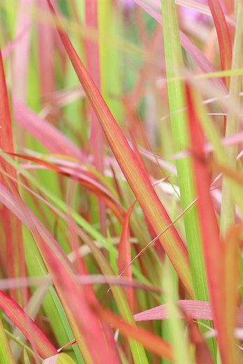 Vaste planten in de herst: Imperata