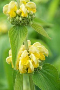 Groenblijvende bodembedekkers met gele bloemen