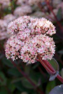 Roze nectarplant