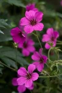 Vroeg bloeiende vaste planten: Geranium, Primula en Helleborus
