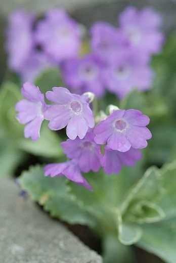 Vroeg bloeiende vaste plant: Primula