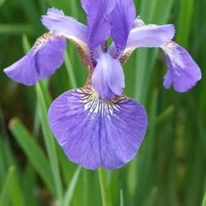 Romantische voorjaarsplanten in de tuin, Iris, Phlox, Campanula