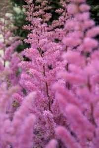 Klassieke vaste planten: Aster, Astilbe en Astrantia