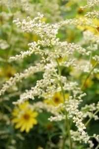 Vaste planten voor in een zonnige tuin: Artemisia, Lychnis