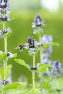 Perennials attracting butterflies and bees: Centranthus, Salvia and Nepeta