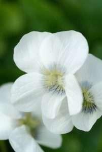 Voorjaarsbloeiers: Viola, Brunnera en Vinca