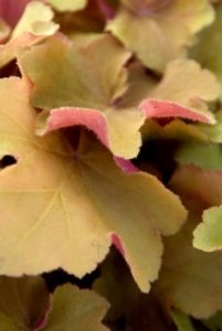 Bladplanten Miscanthus, Heuchera en Persicaria