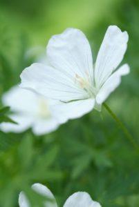 Vaste planten voor in de zon: Delphinium, Geranium en Origanum