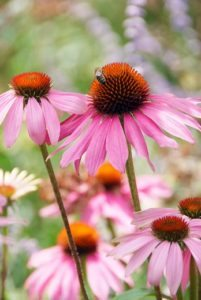 Echinacea 'Magnus', 'Harvest Moon' and 'White Swan'