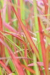 Vaste planten in de herfst: Imperata, Stipa en Miscanthus