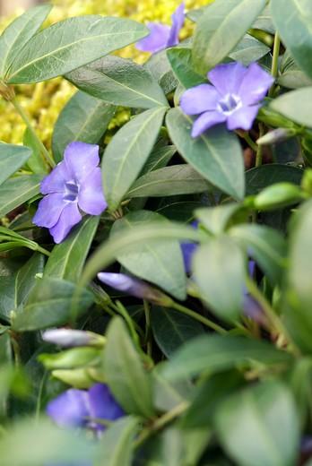 Groenblijvende bodembedekkers met paarse bloemen