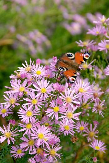 Nectarplant als magneet voor vlinders