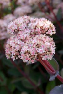 Nectarplant