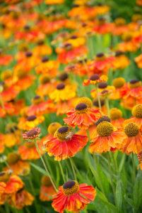 bloeiende borderplanten