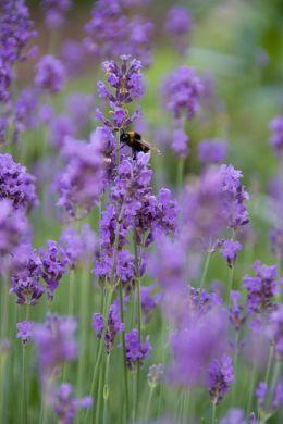Lavendel laat je tuin leven image