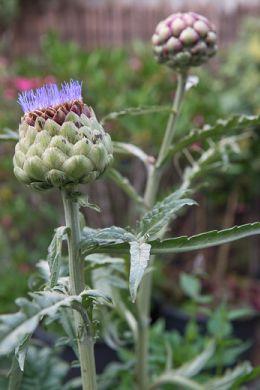 Makkelijke moestuin met vaste planten