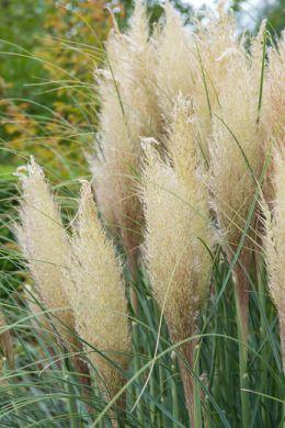 Pampasgras brengt elke tuin tot leven image