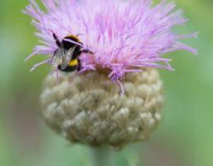Maak van je tuin een bijenweide met vaste planten